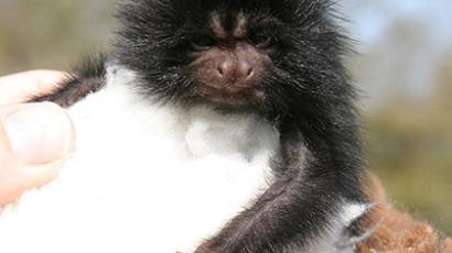 Black lion tamarin (photo from www.zooborns.com)