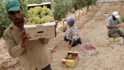 Palestinian farmers harvest grapes (AFP Photo/Said Khatib)