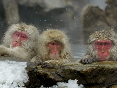 Wild monkeys to measure Fukushima radiation (AFP Photo / Kazuhiro Nogi)