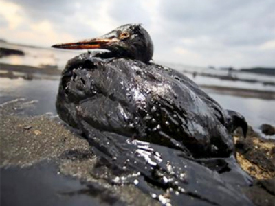 Oil slick kills hundreds of birds