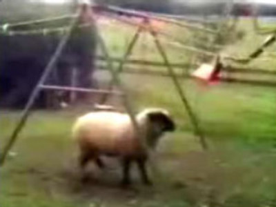 A sheep is fighting with the swing