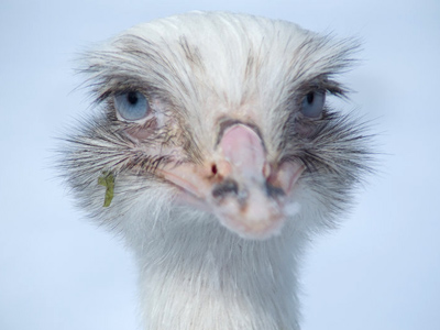 Albino ostrich on tour in Kamchatka has escaped from a circus