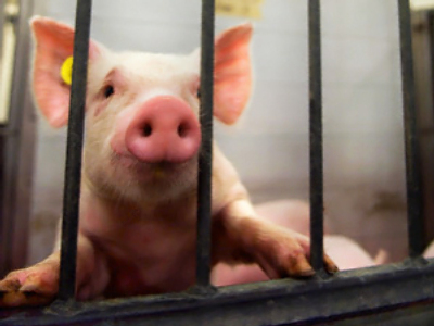 Pentagon accused of pig victimization