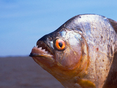 Piranha caught in Siberian river