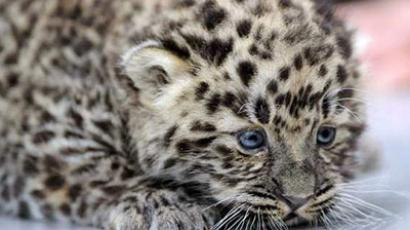 Newborn Amur leopard (photo from http://www.kontain.com/denis)