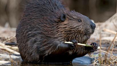 Beaver patrol foils cigarette smugglers
