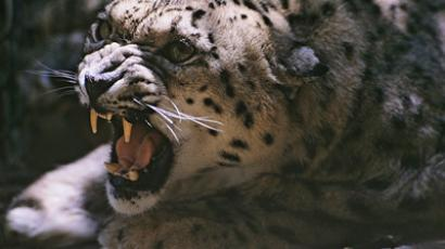 Sochi Olympics gives new chance to Persian leopards in the Caucasus