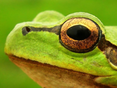 Rare frogs are not about to 'croak'
