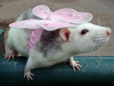 Irresistible rats: beauty rodent-style
