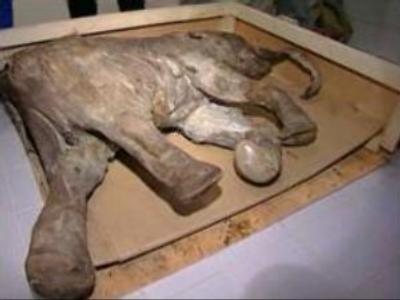 Remains of mammoth found in  Russia