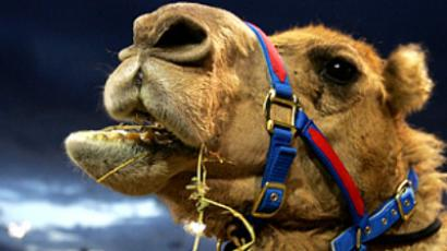 Ill-fated camels stalled again