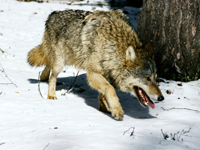State of emergency in Siberia: Russian republic to hunt down 3,000 wolves
