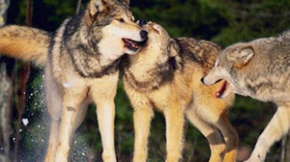 Pack attack: Second Russian republic on hunt for wolves