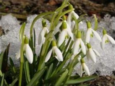 Smuggling snowdrops reaps good profits