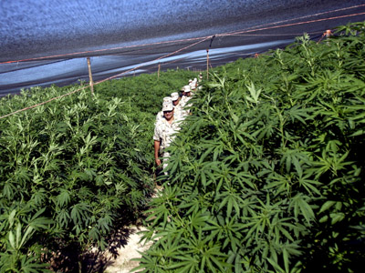 Up in smoke:  Eurozone crisis pushes Spanish town to harvest pot. (Reuters / Jorge Duenes)