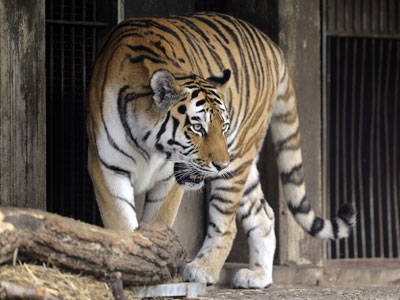 A tiger is walks around its enclosures at the zoo in Cologne, western Germany, on August 25, 2012.  (AFP Photo / Marius Becker Germany Out)