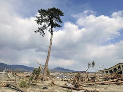 Only one pine tree in the Takata Matsubara forest survived the March 11 tsunami and efforts are under way to keep it alive (AFP Photo)
