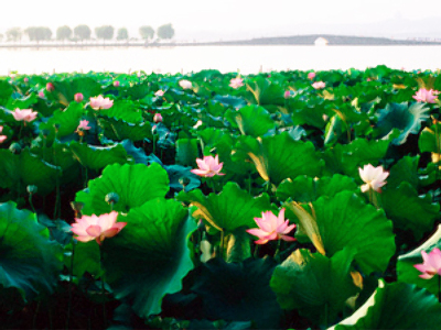 Lotus field in in the delta of the Volga River