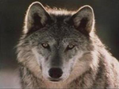 Wolves cause serious damage to flocks in Kalmykia