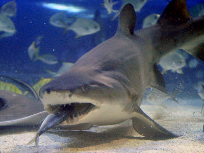 Three people were attacked by sharks in Russia's Far East in 2011 (AFP Photo/Attila Kisbenedek)