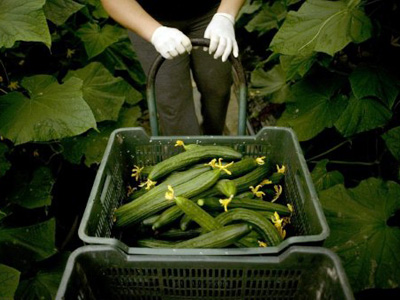 SPAIN, Algarrobo : A farmer harvests cucumbers at a greenhouse on June 1, 2011 in Algarrobo, near Malaga, as Madrid threatened to sue German officials who initially warned that the virulent bacteria, which has already killed 15 in Germany and one in Sweden, was borne by cucumbers imported from Spain before correcting their findings. (Document referencePar6307338Object nameSPAIN - GERMANY - FOOD - DISEASE - HEALTHCreation date2011-06-01CreditAFPSourceAFPBylineJorge GuerreroFile size / Pixels / dpi24.67 Mb / 3600 x 2395 / 300 dpiSPAIN, Algarrobo : A farmer harvests cu