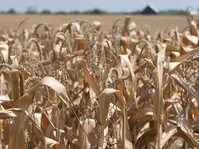 Severely damaged corn stalks due to a widespread drought are seen on a farm near Georgetown, Indiana on August 15, 2012. (AFP Photo/Saul Loeb)