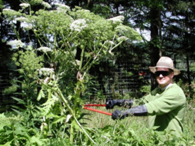 Giant Hogweed invades Russia, spreading to America