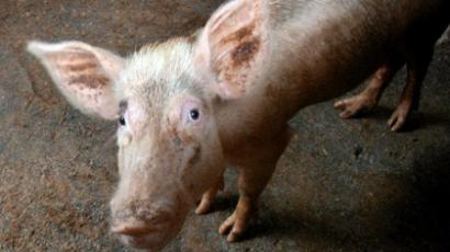 Hogocaust? Farmers forced to slaughter healthy swine or face jail time