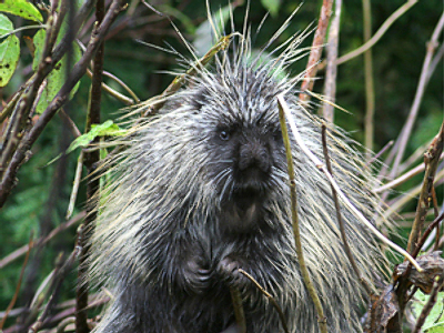Porcupine takes revenge on tourists breaking sex law