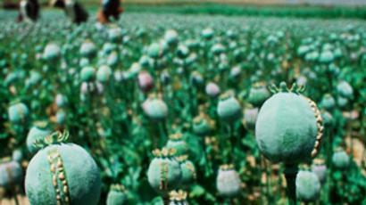 Desperate Indian farmers now growing opium poppies