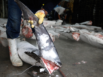 Fin sins: Report finds endangered shark species in soups