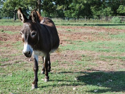 Texas mayor killed by huge pet donkey