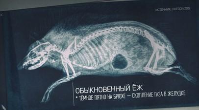 Лапа тигра и хвост бобра: американский зоопарк показал рентгеновские снимки животных