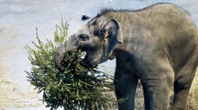 Московский зоопарк получил более 1000 не распроданных новогодних ёлок