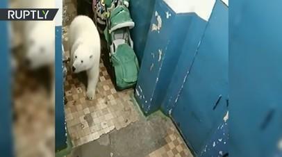Незваный гость: на Новой Земле белый медведь забрёл в подъезд дома