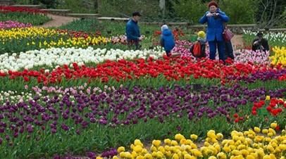 На Параде тюльпанов в Крыму представят около 100 тысяч цветков